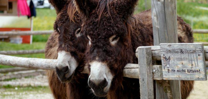 Die Schwäbische Alb mit Kindern: zwei Esel